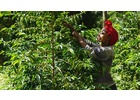 Ethiopia Sidamo - Wet Process - Green Coffee Beans