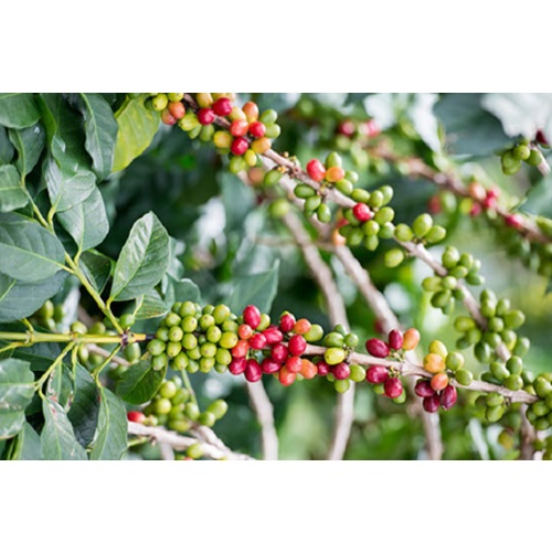Indonesia Java - Green Coffee Beans