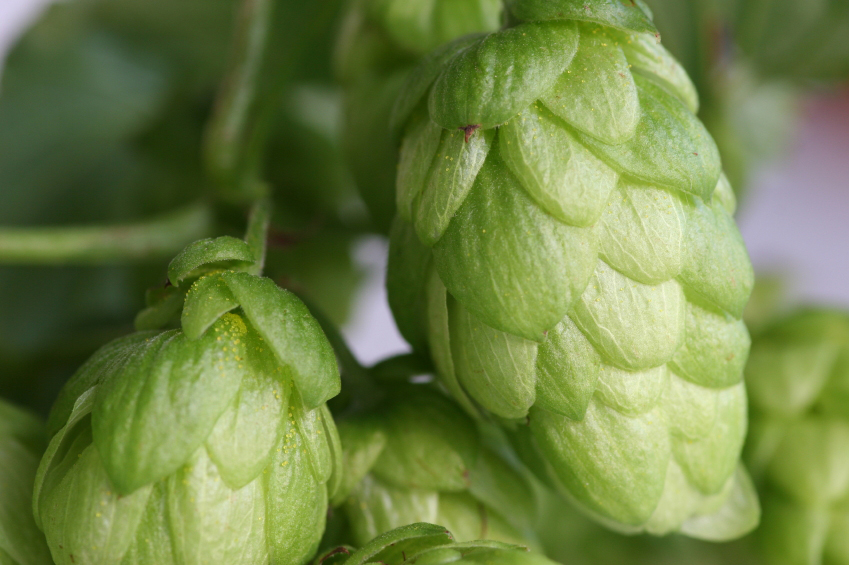 Whole Hop Cones