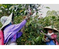 Indonesia Java Preanger - Wet Process - Green Coffee Beans