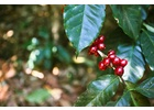Uganda RFA Utz - Green Coffee Beans
