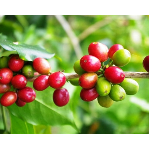 Mexico Royal Select Decaf - Green Coffee Beans
